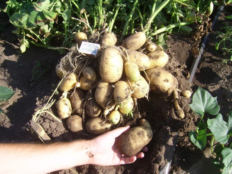 Проверенный способ вырастить большой урожай картофеля: сбоев не бывает