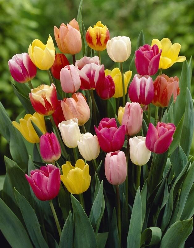 Тюльпаны растут в таре: практично и красиво