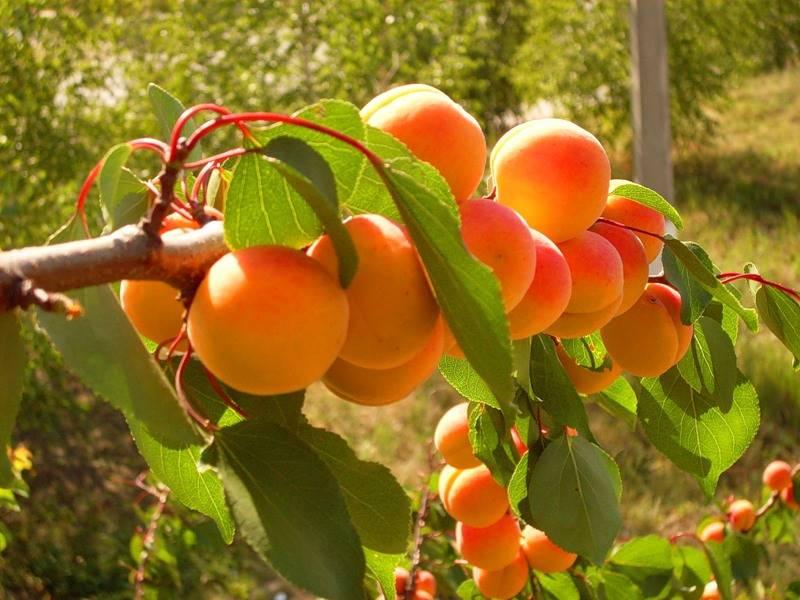 Правильная обрезка абрикоса: берем на заметку