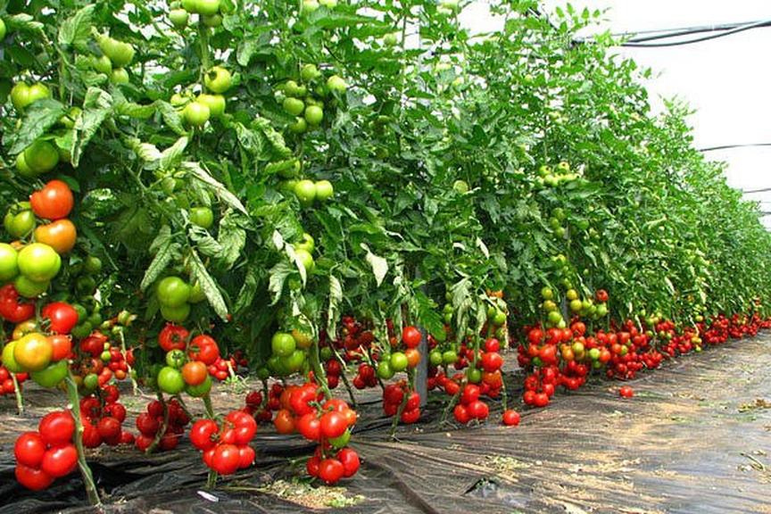 Карлик или великан? Выбираем сорт томатов зная его характеристики