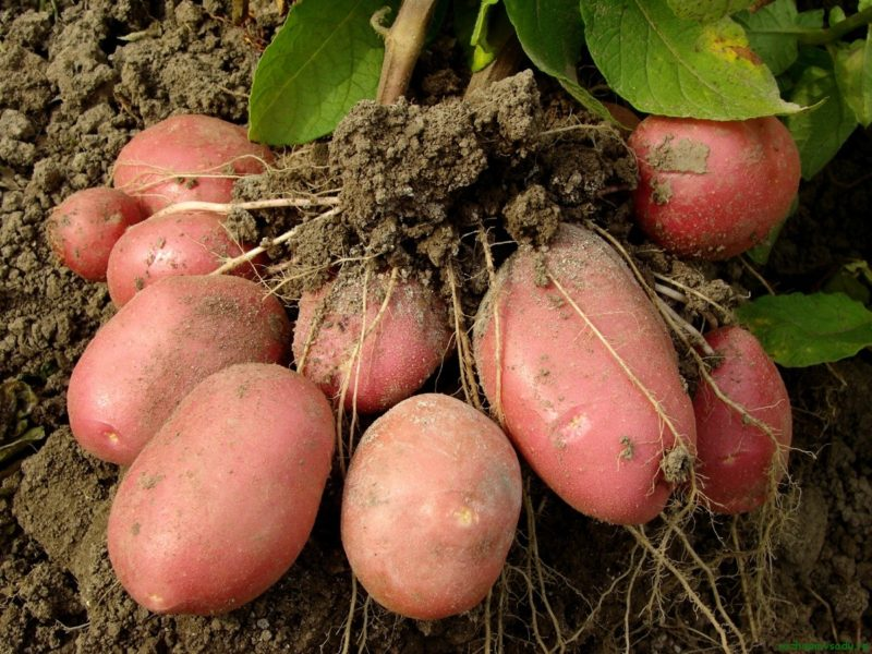 3 способа получить хороший урожай картофеля в начале июня