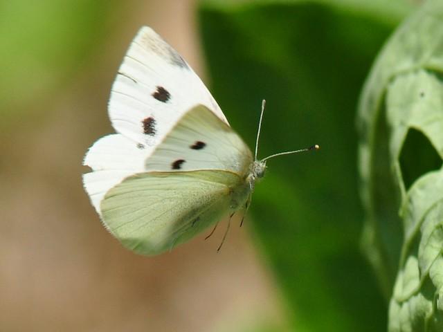 Бабочки съедают капусту - как ей помочь?