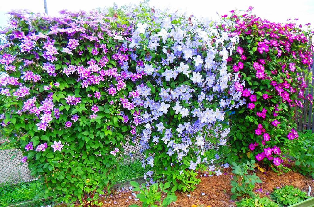 Сажаем клематис - скрываем некрасивые места в саду