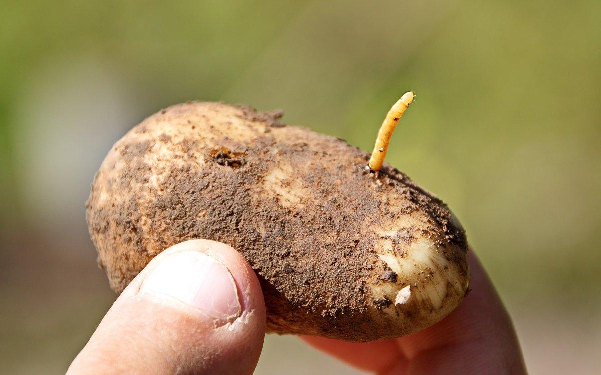 Как сберечь картофель от проволочника до посадки?