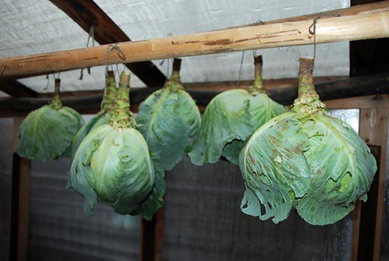Сеем капусту, что будем хранить: выбираем сорта на зиму