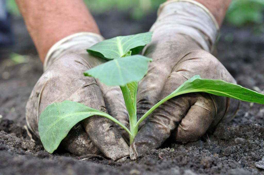 Схемы посадки рассады овощей