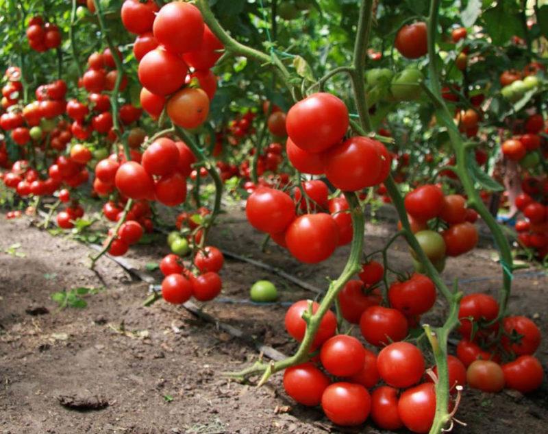 Секреты хорошего урожая томатов