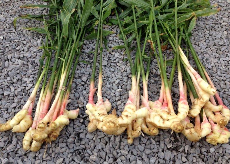 Выращиваем имбирь на даче