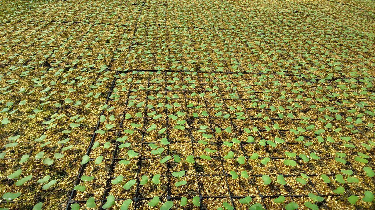 Выращивание капусты по кассетной технологии