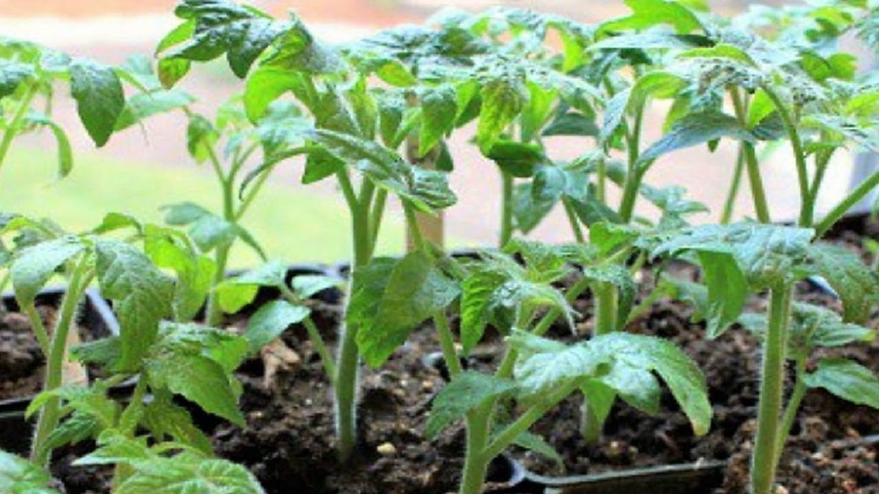 Как вырастить здоровую и крепкую рассаду томатов