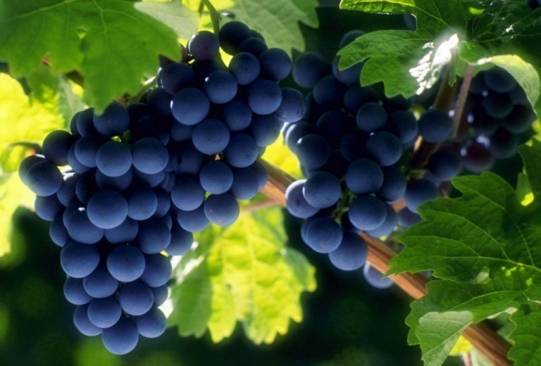 Виноград: выбираем зимостойкие сорта и готовимся к весенней посадке