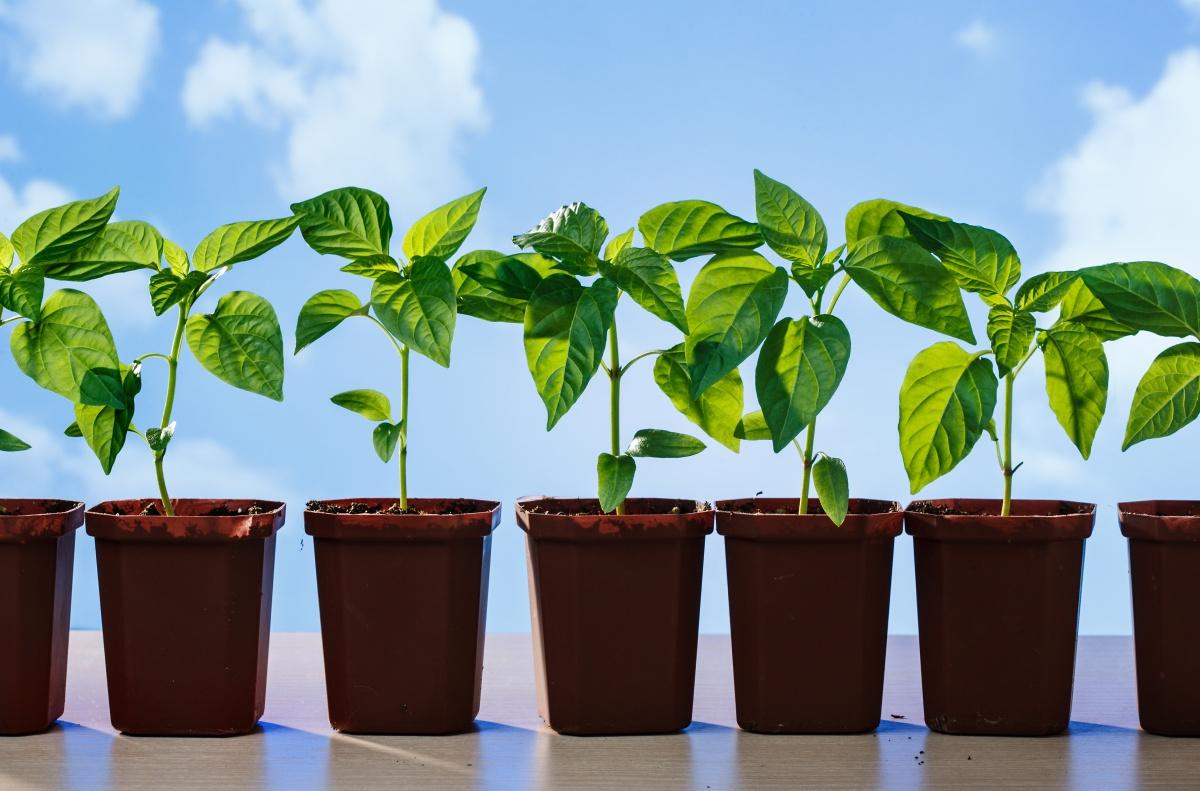 Как вырастить крепкую, здоровую рассаду перца