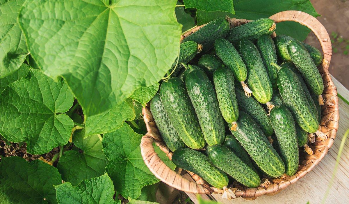 Все о выращивании огурцов: запасаемся знаниями