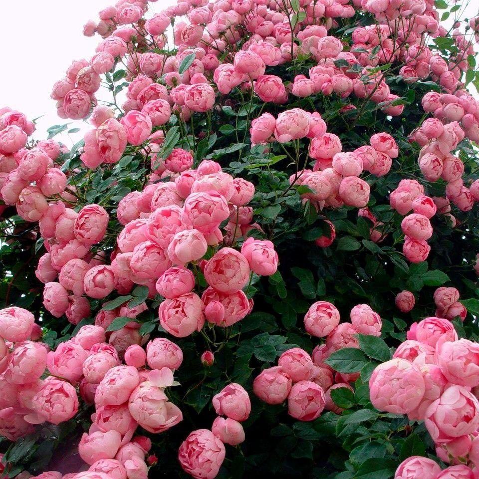 Пионовидные розы - махровые «англичанки»