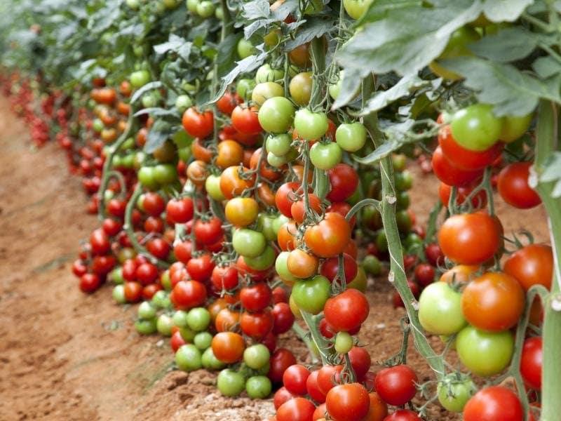 Запрещенный прием - двойной урожай томатов
