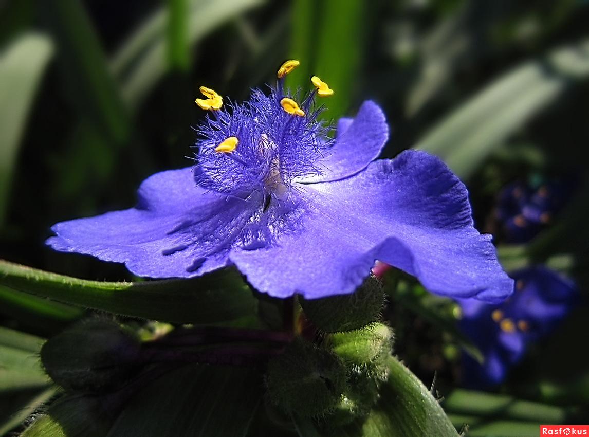 Традесканция виргинская - самый красивый садовый цветок