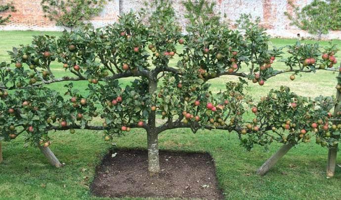 Как растят яблони в холодном климате