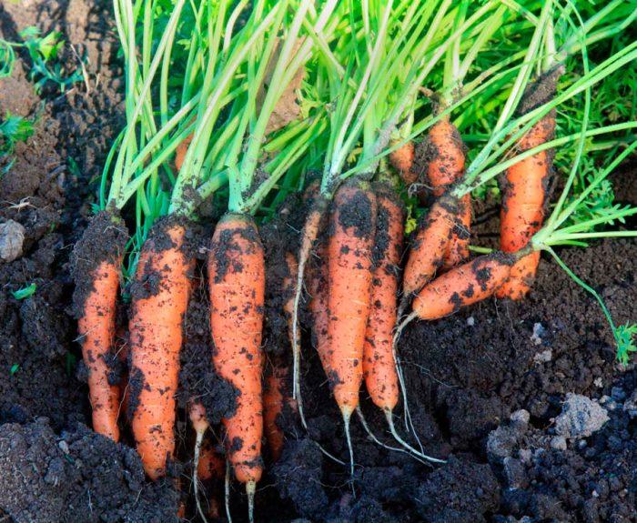 Чтобы не навредила морковная муха