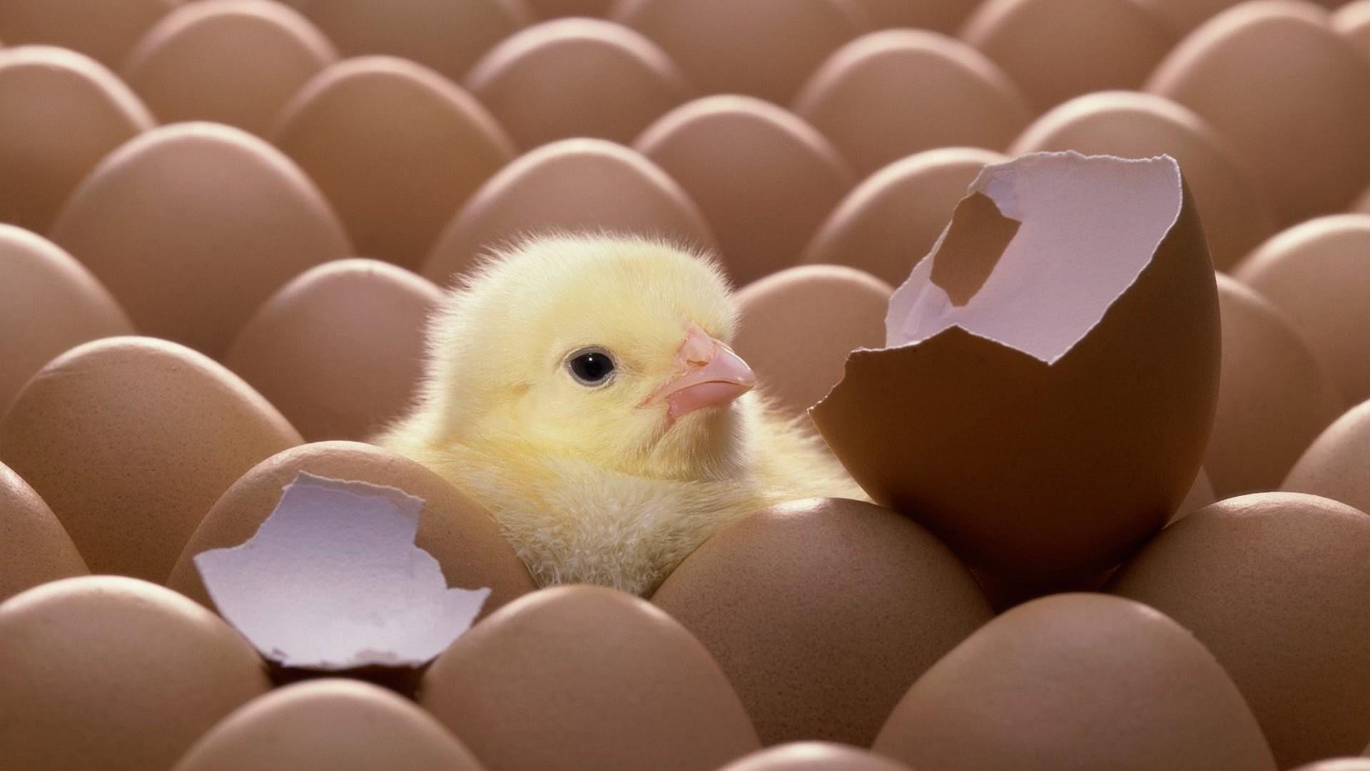Выбираем яйцо для инкубатора