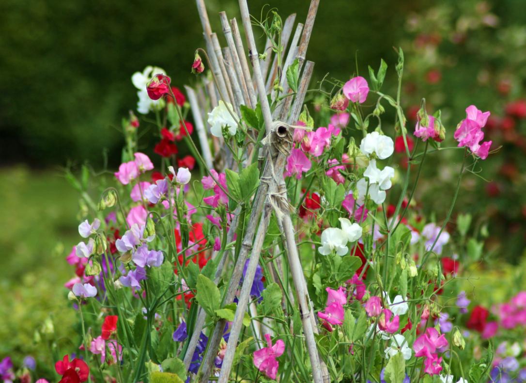 Многолетний горошек: особенности агротехники