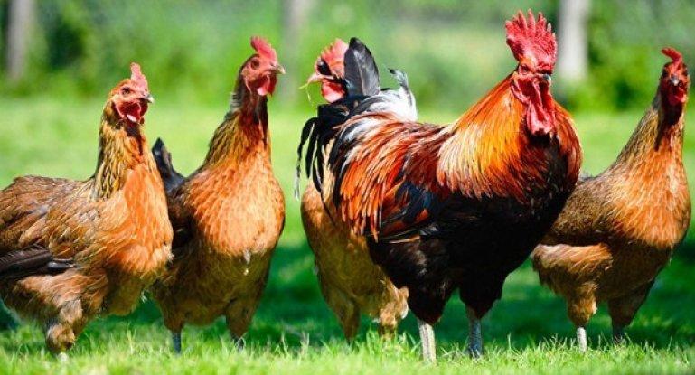 Выбираем породу кур