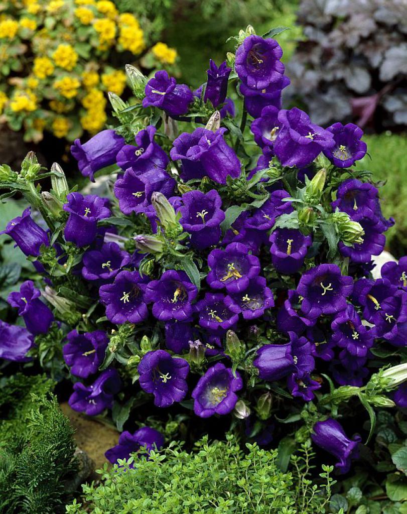 Колокольчик - сказочный цветок