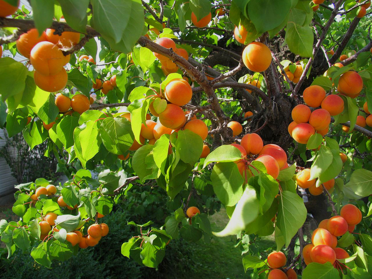 Как и из чего выращивать абрикос