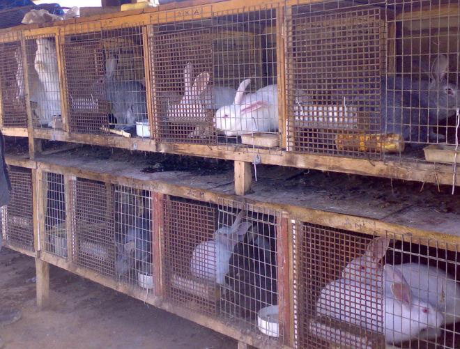 Разведение кроликов: с чего начать?
