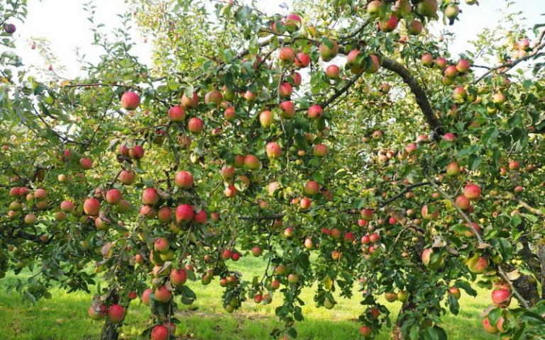 Яблоня: год - густо, год - пусто