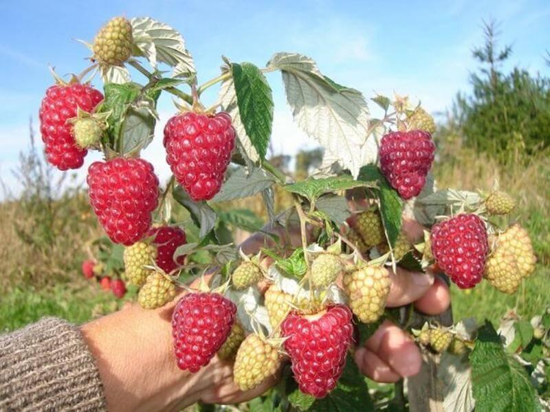 Выбираем урожайный сорт малины