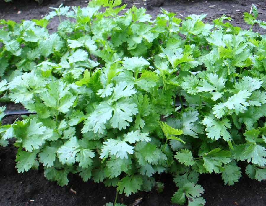 Как вырастить нежную зелень