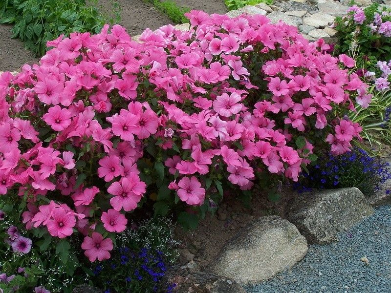 Лаватера в саду: посадка и уход