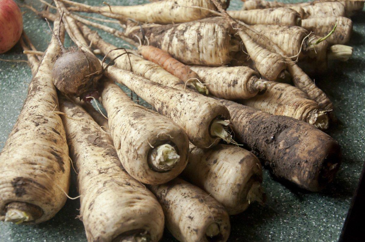 Пастернак: что это за овощ и как его нужно выращивать?