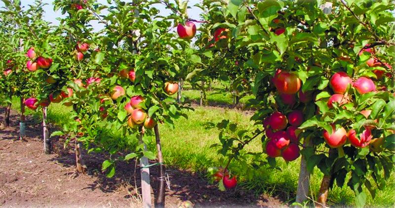 Яблоневый сад: гордость садовода