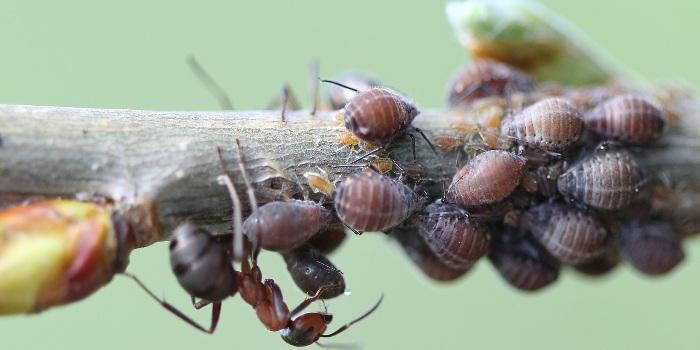 Как избавится от тли и муравьев
