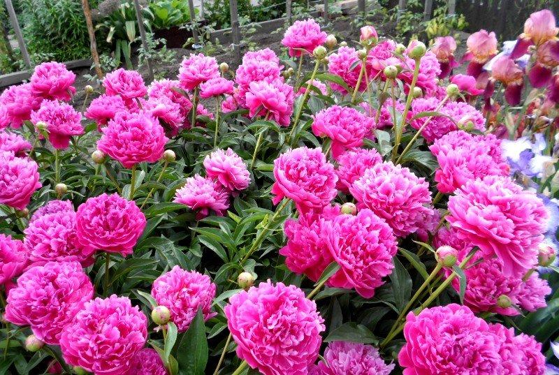 Что влияет на цветение пионов