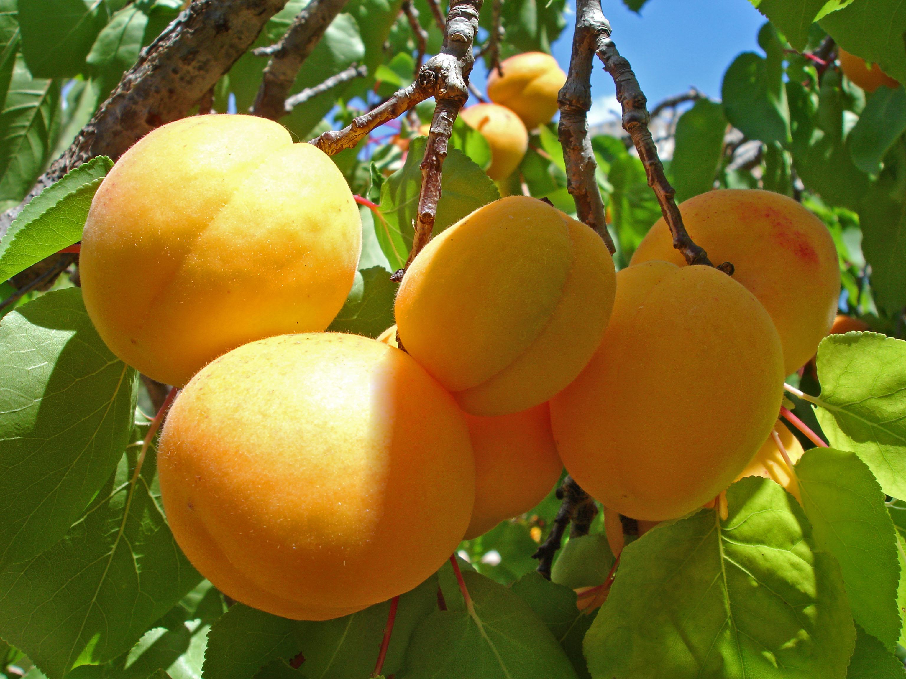 Абрикосы: делюсь бесценным опытом с садоводами