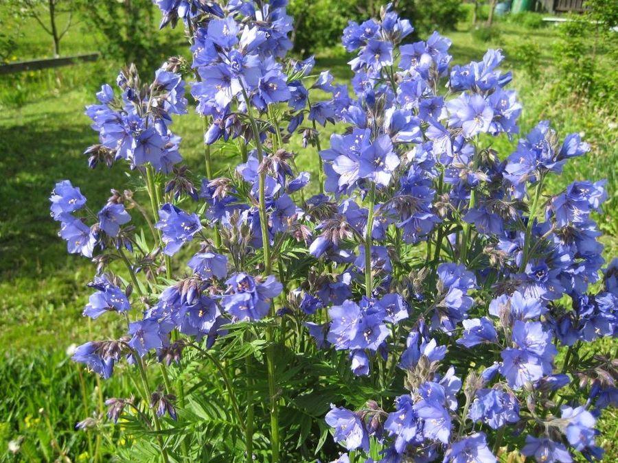 Синюха голубая - красивая и полезная