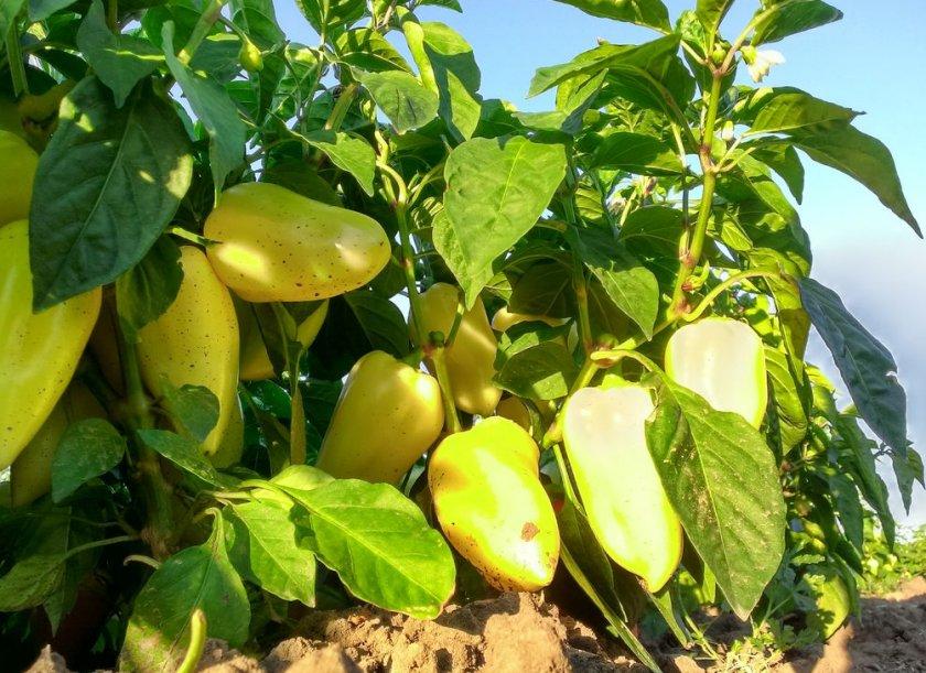 Перец, урожайный в любое лето