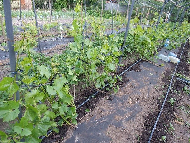 Почему не растет виноград