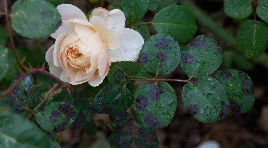 Болезни и вредители на розах: профилактика и методы борьбы