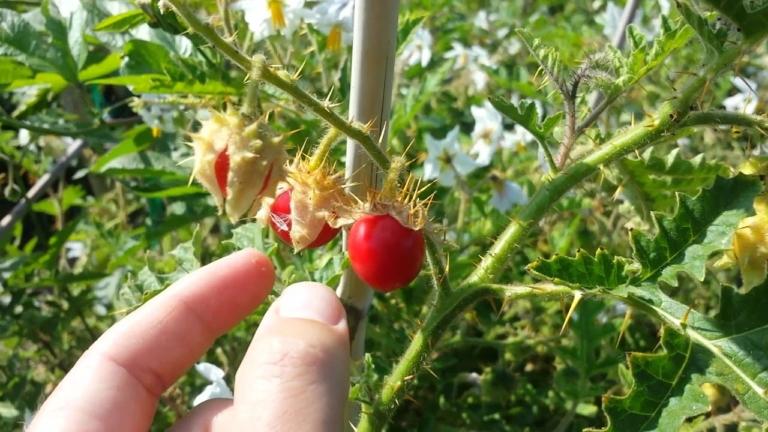 Чудо-овощ - колючий помидор