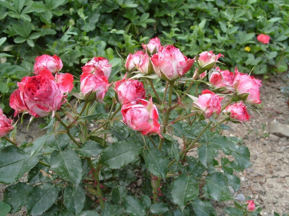 Розы-спрей - брызги в цветнике
