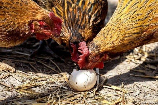 Чтобы куры не клевали яйца