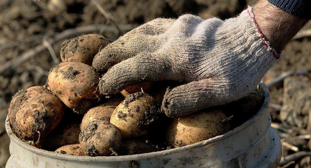 Картофель загнивает в почве