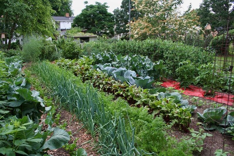 Санитары огорода: растения, которые помогают в защите от болезней и вредителей