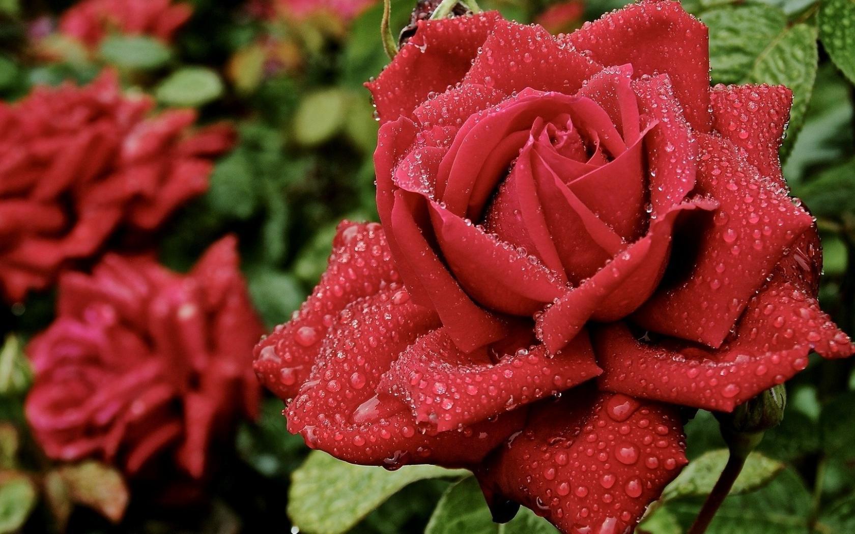 Прежде чем посадить розу готовлю почву