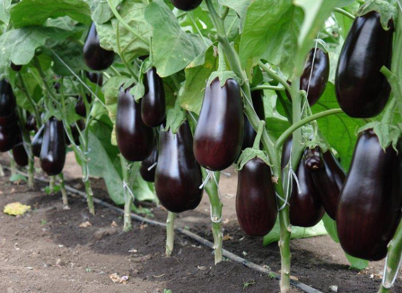 Баклажан: секреты больших урожаев