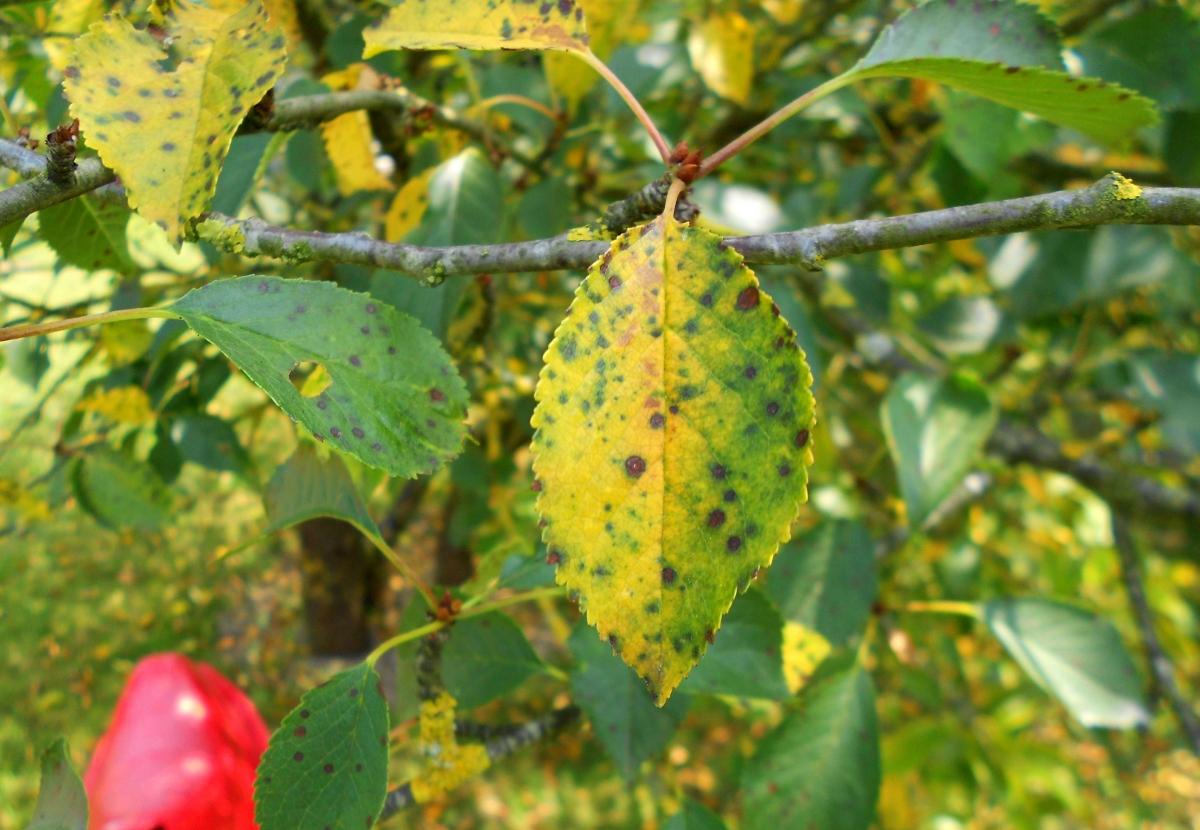 Коккомикоз вишни - опасное заболевание