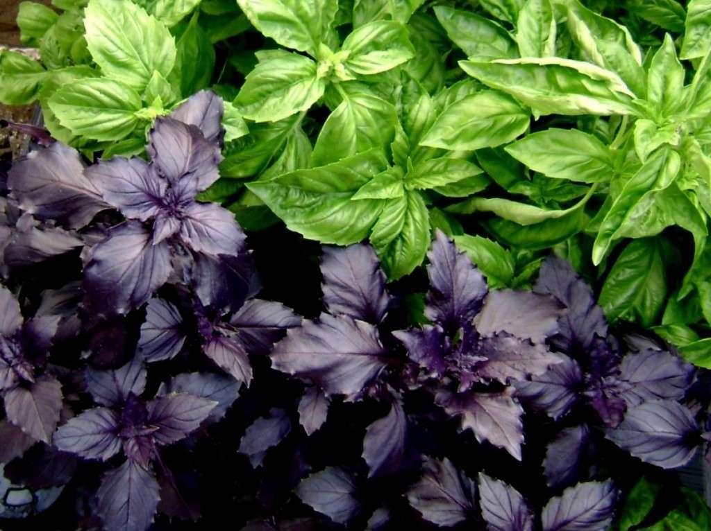 Базилик: зелень нежная, ароматная